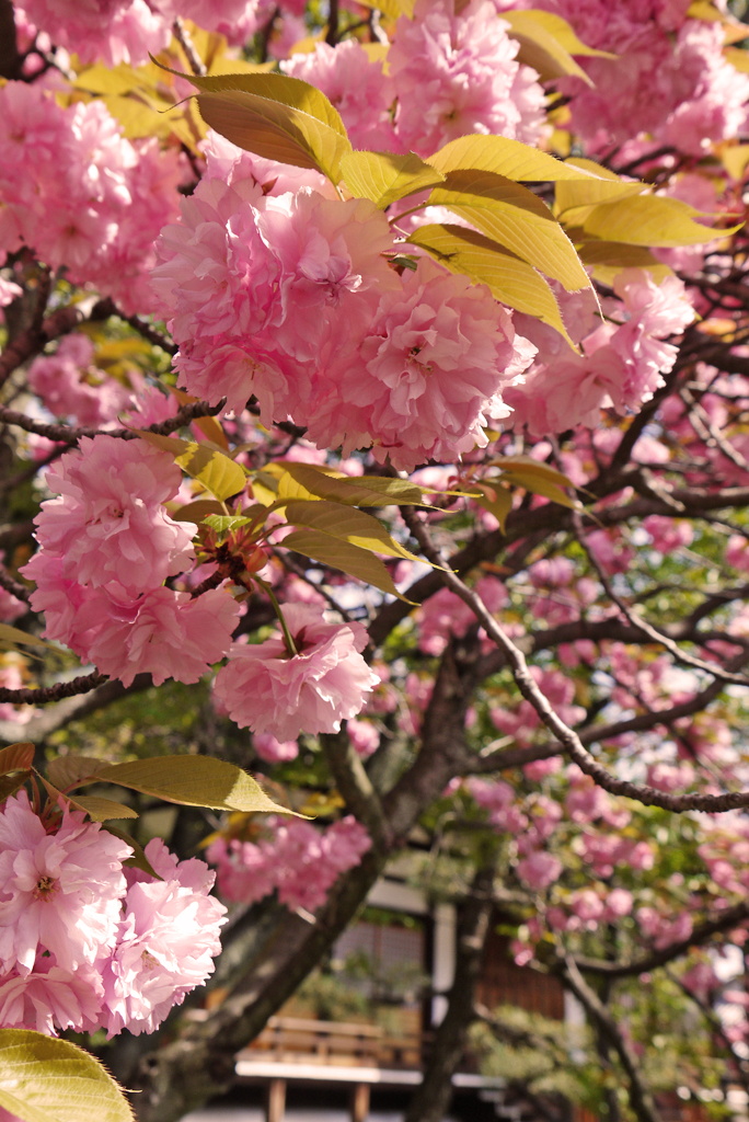 本満寺の八重桜の写真素材