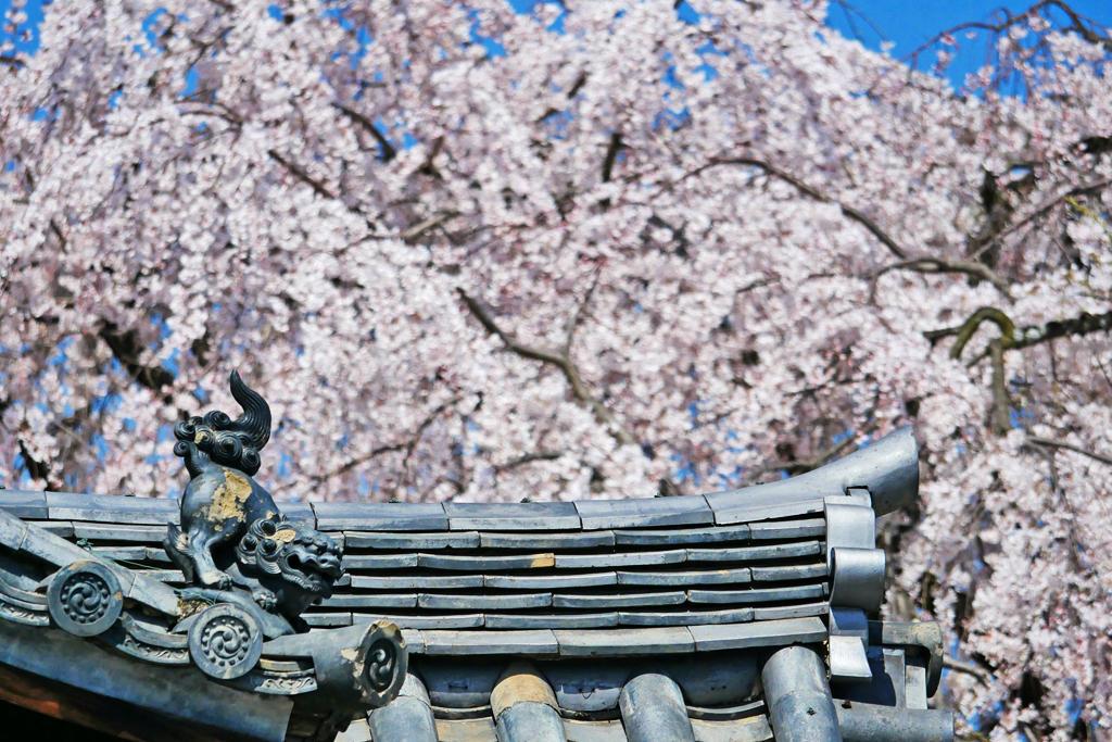 本満寺の枝垂桜の写真素材