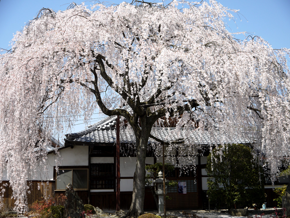 本満寺の枝垂桜
