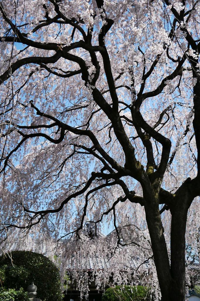 本満寺の桜の写真素材