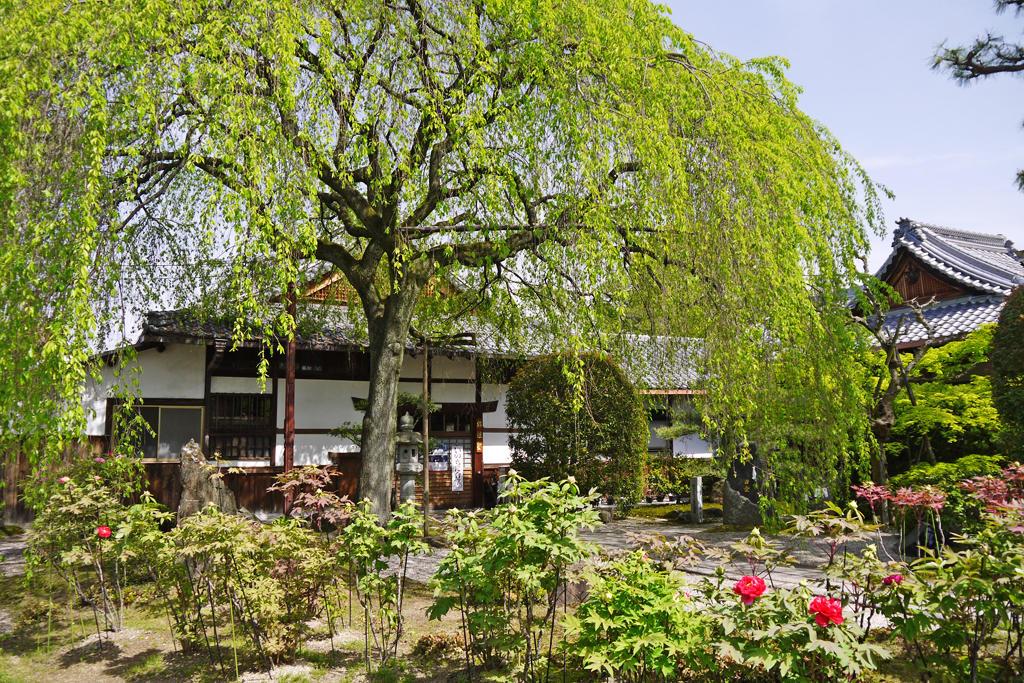 本満寺の桜と牡丹の写真素材