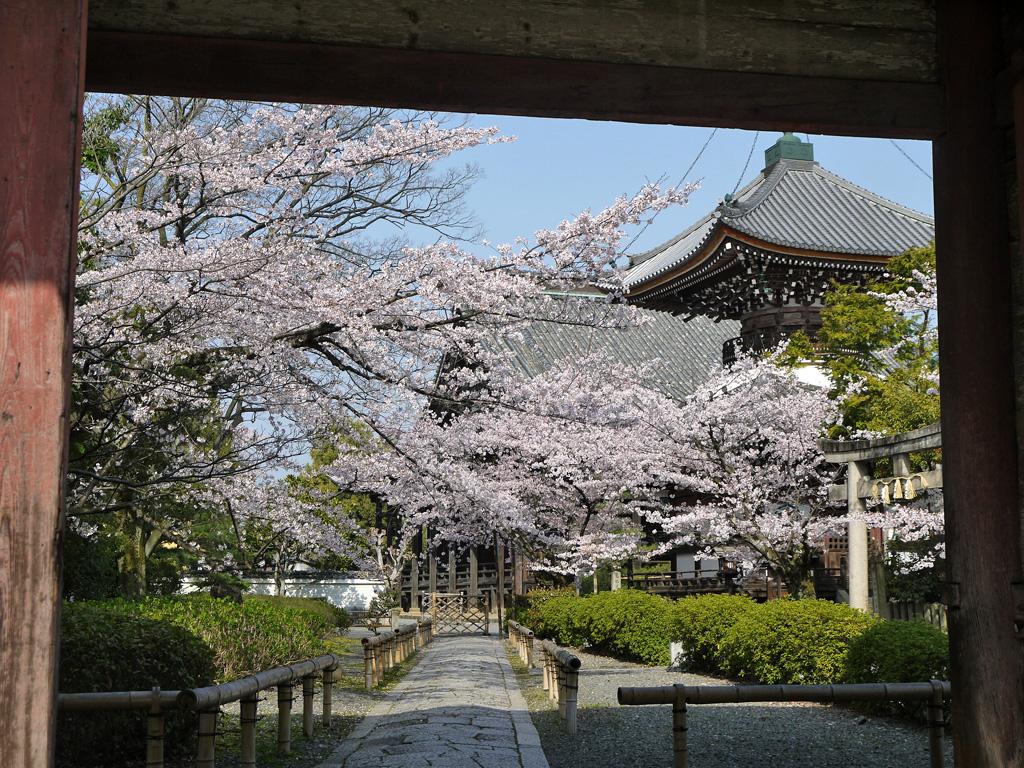 本法寺の桜の写真