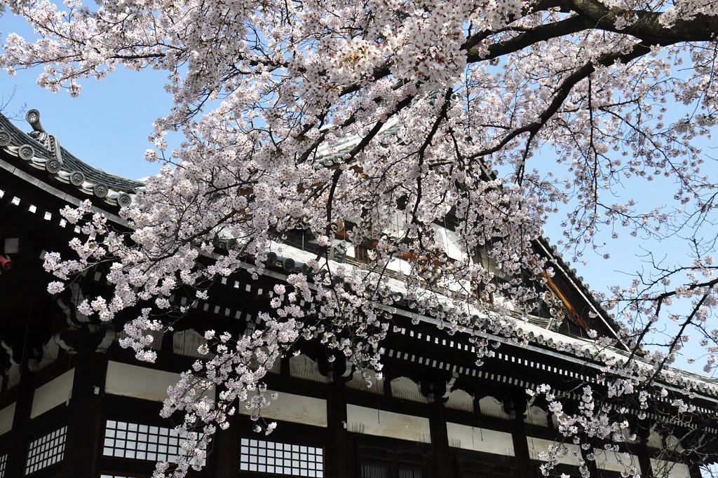 本隆寺の桜の写真素材
