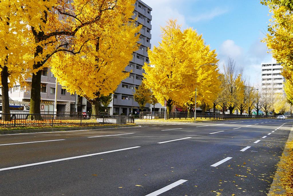 京都の道路 イチョウ並木の堀川通の写真素材