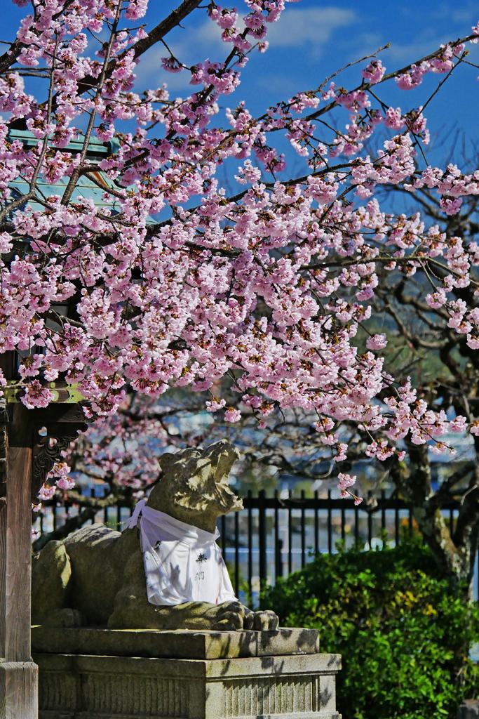 虚空蔵法輪寺の桜の写真素材