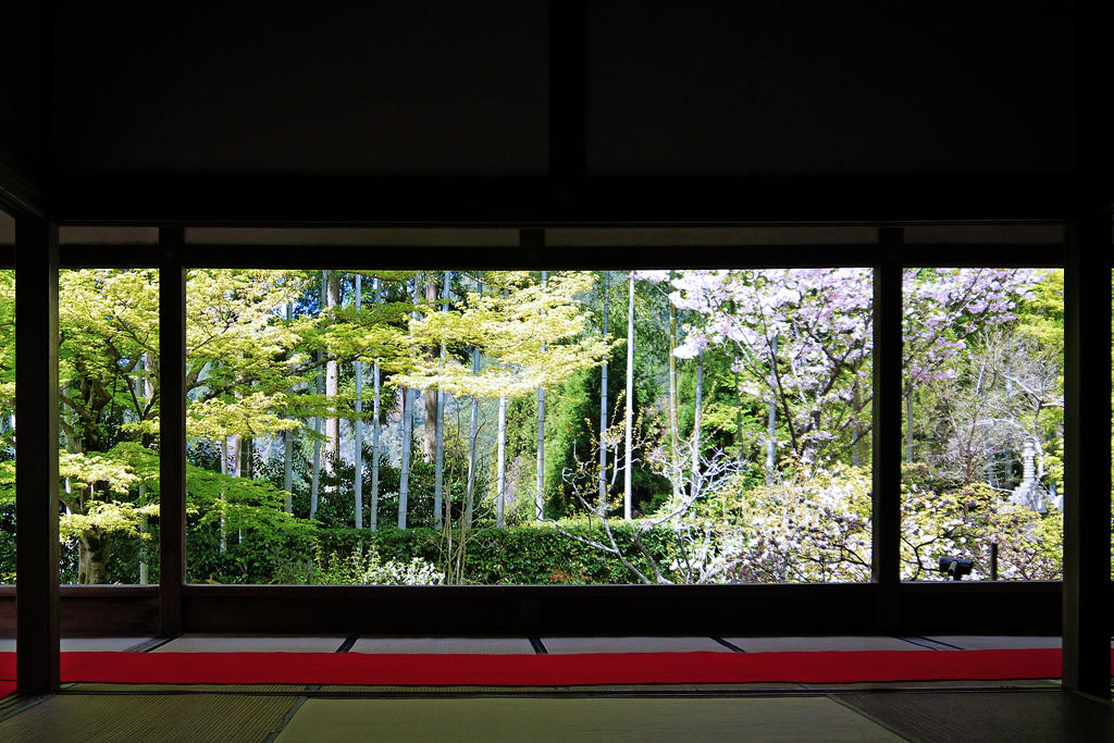 宝泉院の桜の写真素材