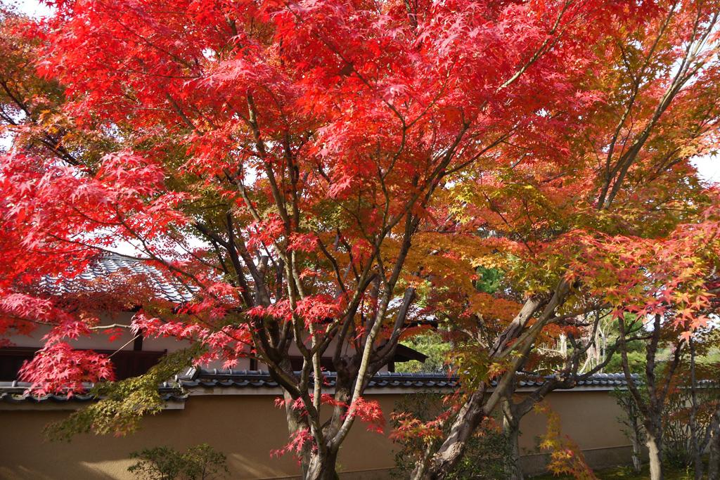 大徳寺 芳春院の紅葉の写真