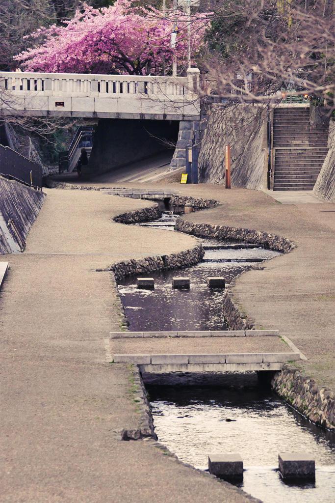 一条戻橋の桜の写真素材