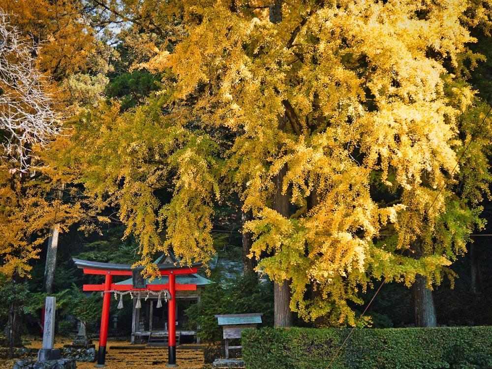岩戸落葉神社のイチョウの紅葉の写真素材