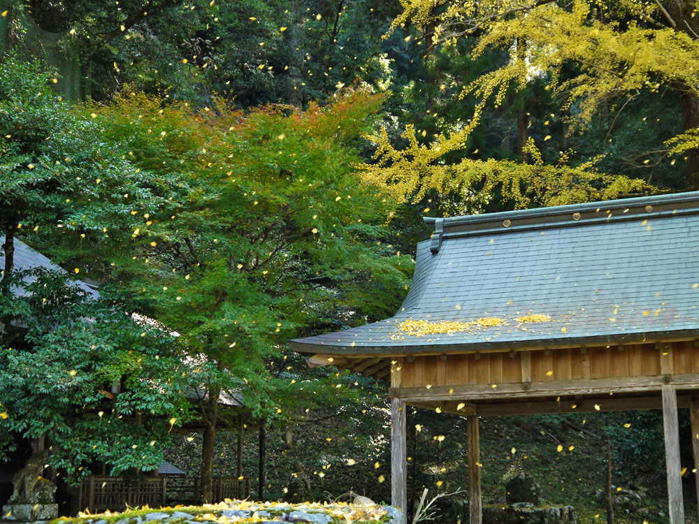 岩戸落葉神社のイチョウの紅葉