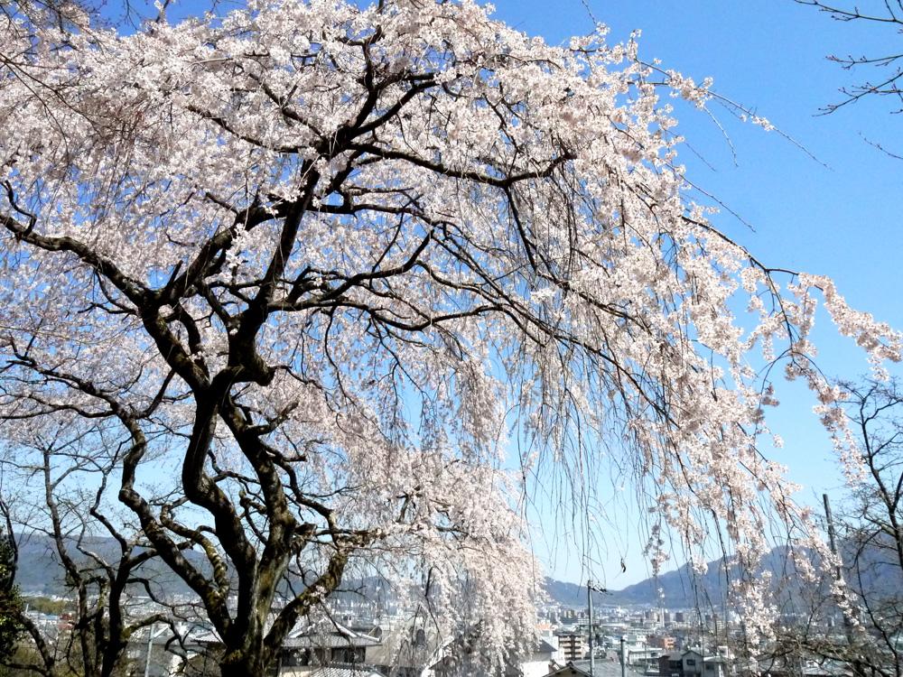 岩屋寺の桜の写真素材