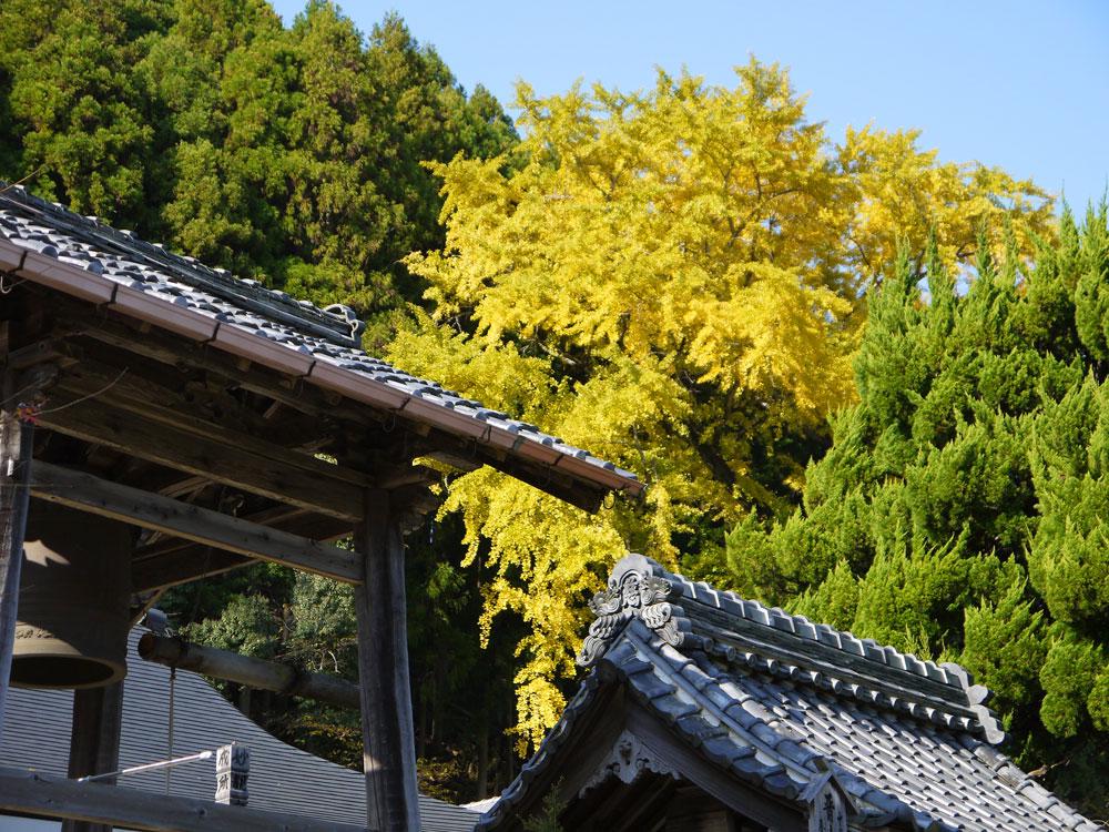慈眼寺のイチョウの紅葉の写真