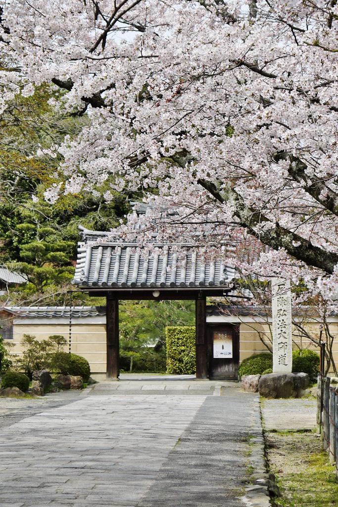 神光院の桜の写真素材