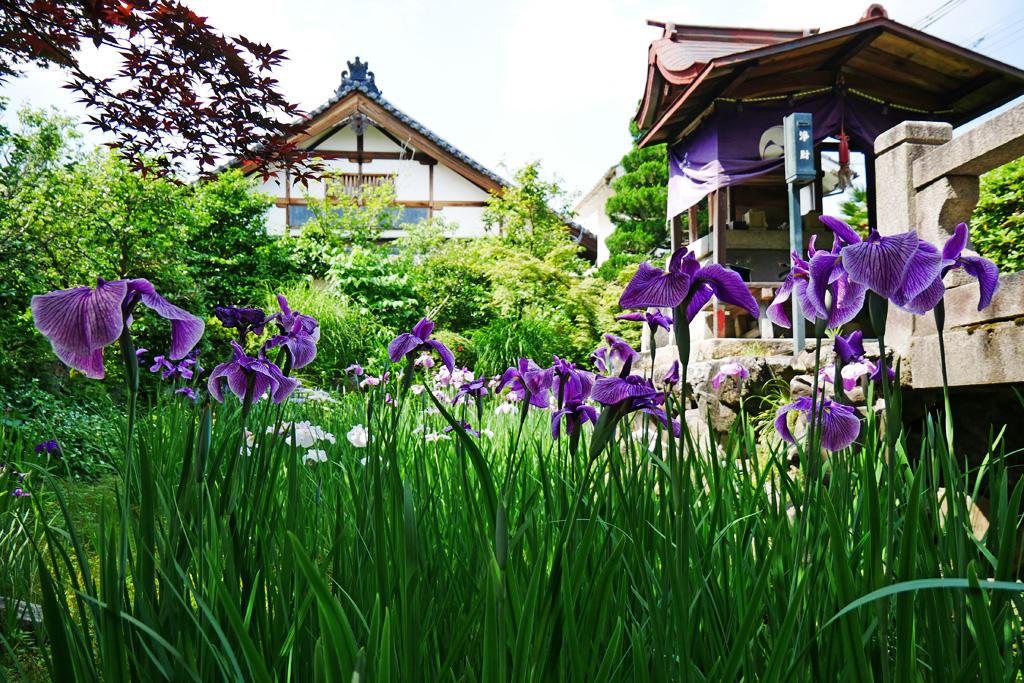 神光院の花菖蒲の写真素材