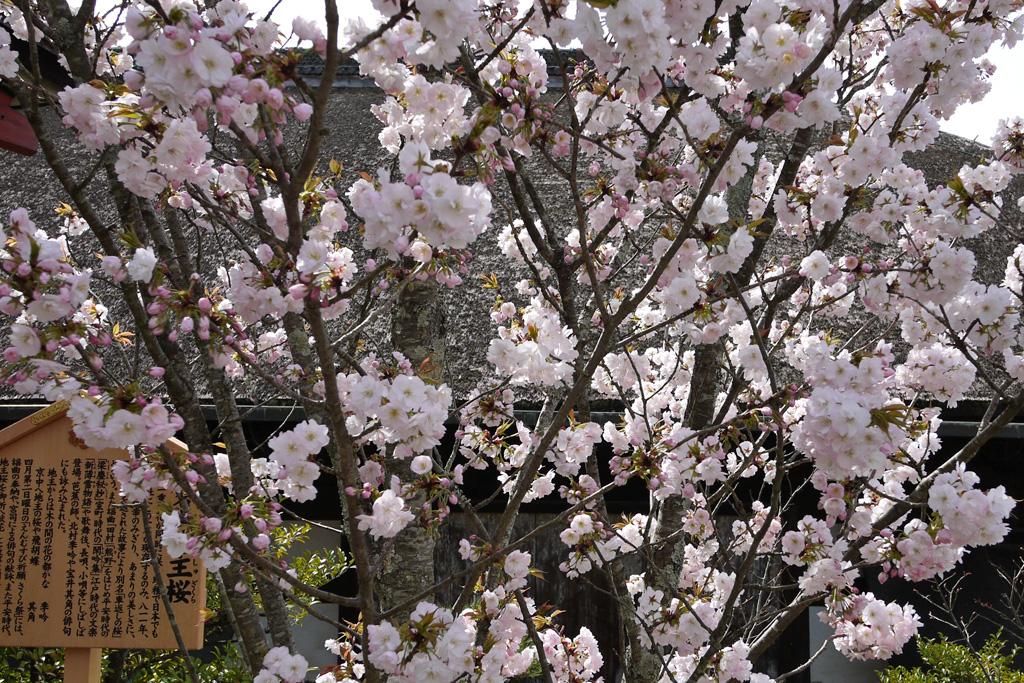 地主神社の桜の写真素材