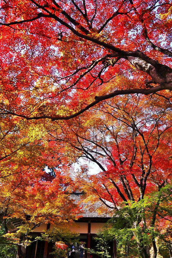 常寂光寺の仁王門の紅葉の写真素材