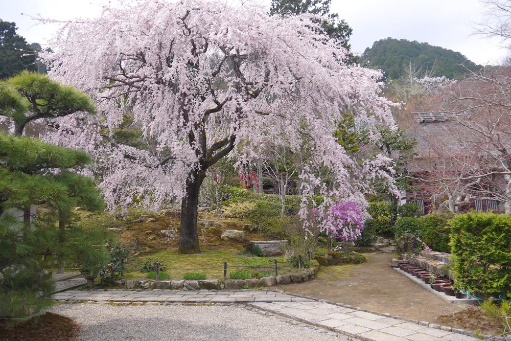 常寂光寺の枝垂桜の写真素材