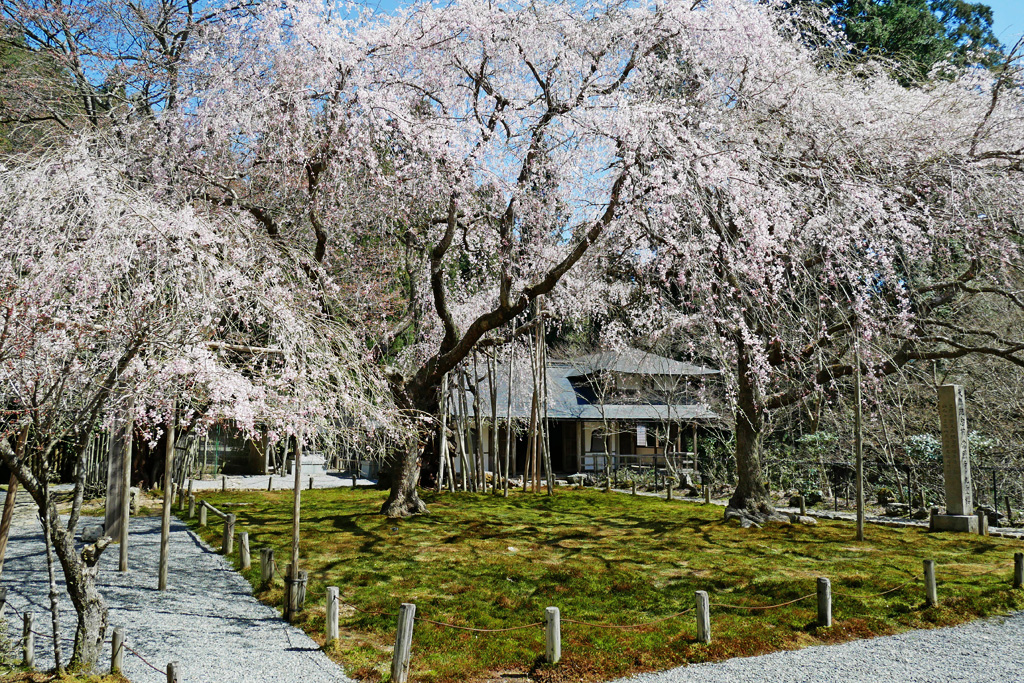 常照皇寺 九重桜の写真素材