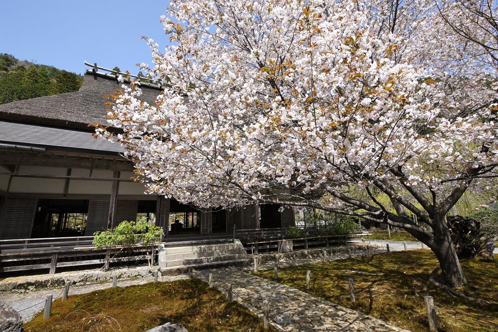 常照皇寺の桜の写真素材