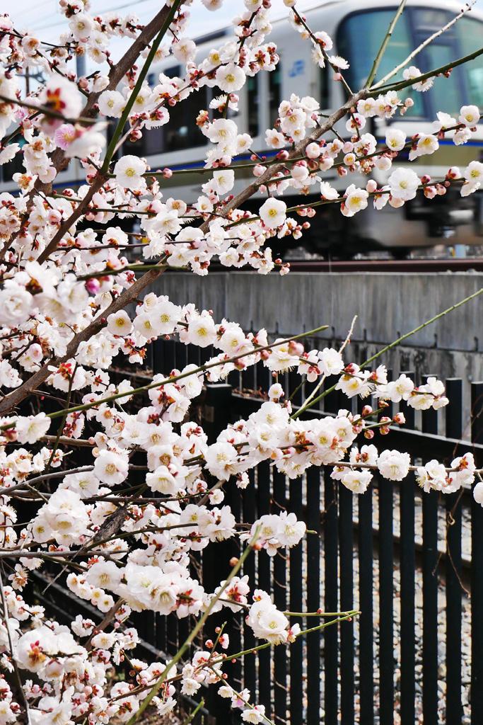 JRと梅小路公園の梅の写真素材