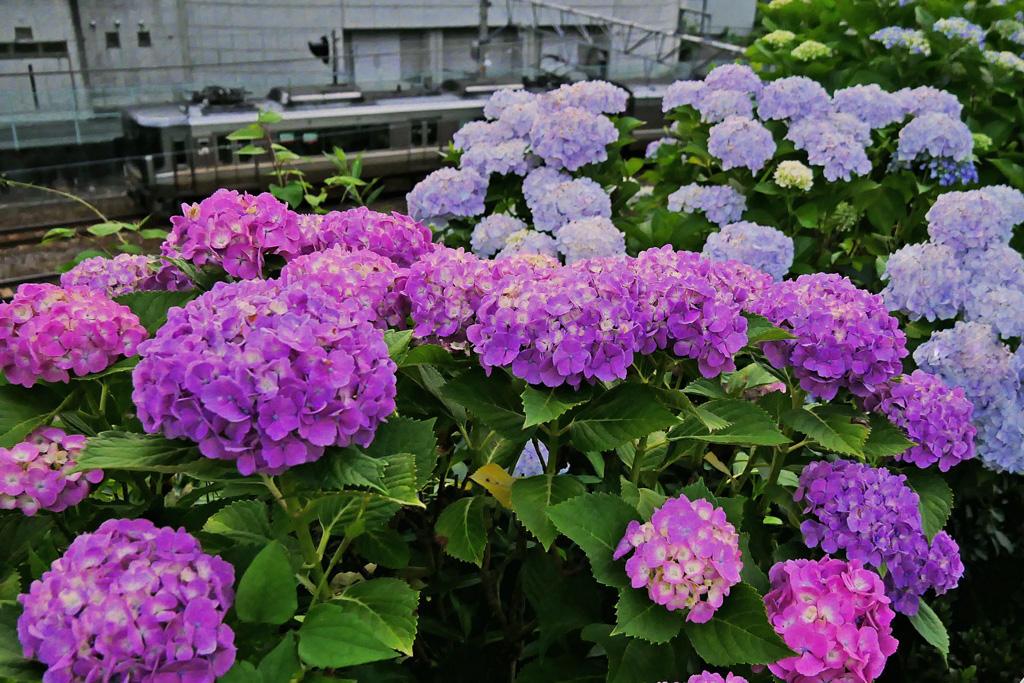 紫陽花とJR山陰線の写真素材