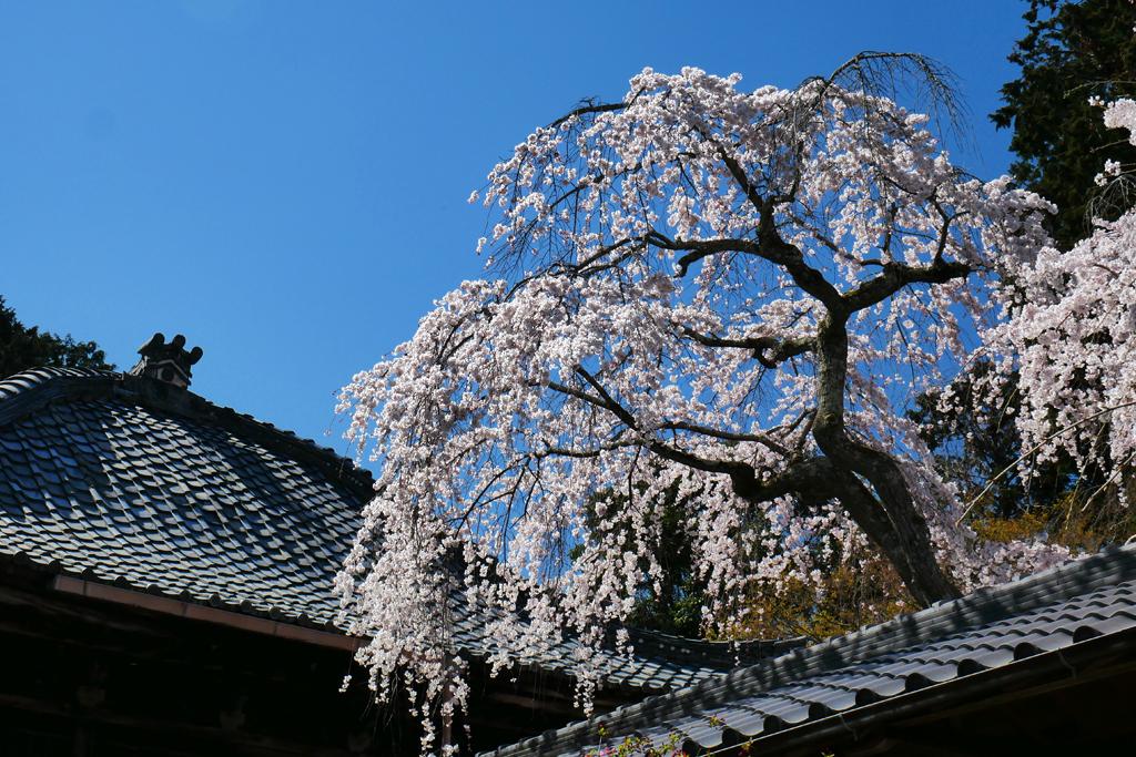 十輪寺の桜の写真素材