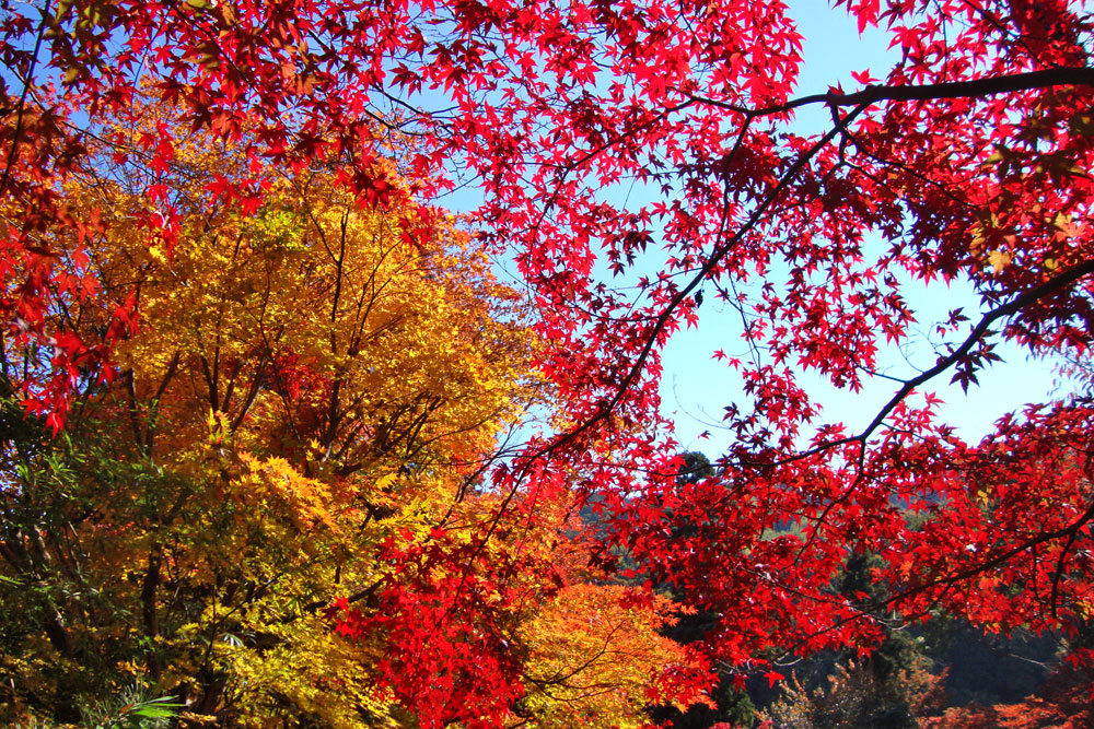 十輪寺の紅葉の写真素材