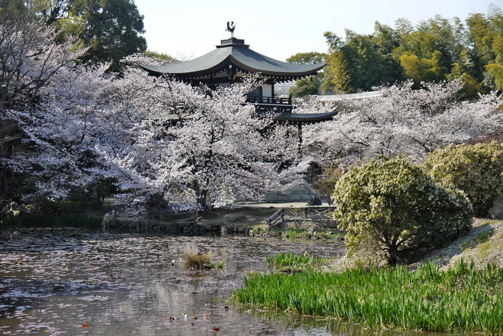 山科 勧修寺の桜の写真素材