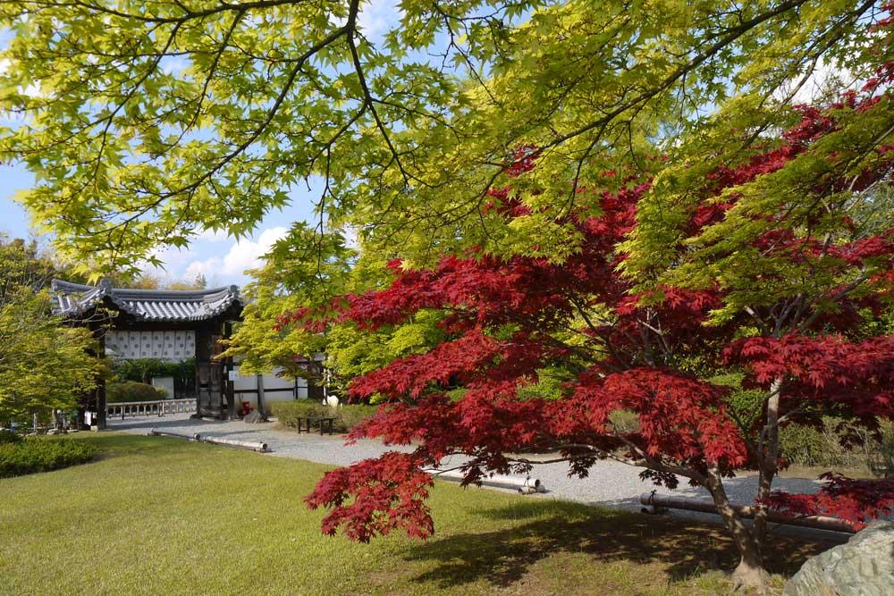 山科 勧修寺の青もみじの写真素材