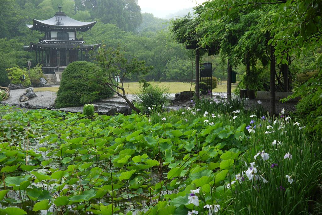 山科 勧修寺の花しょうぶの写真素材