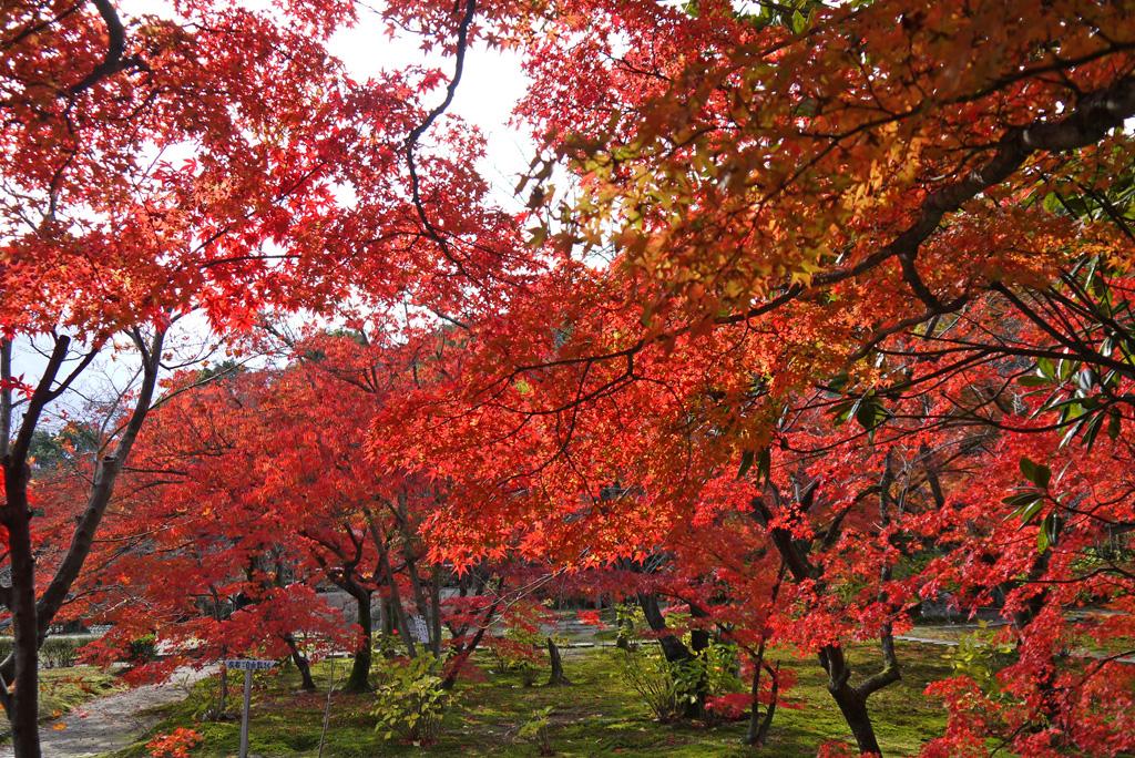 山科 勧修寺のもみじ写真