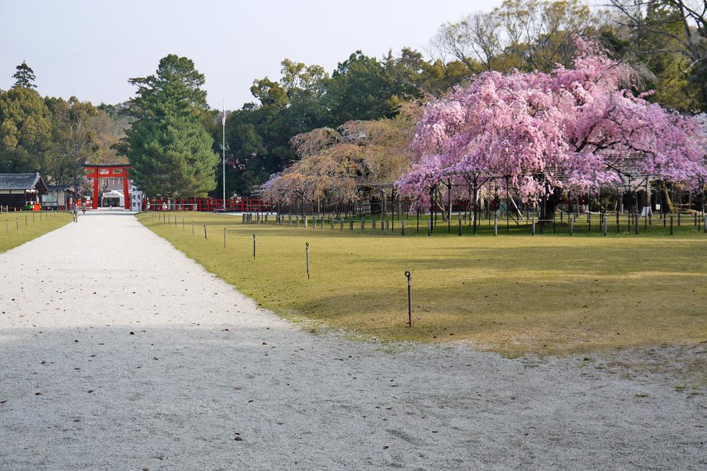 上賀茂神社の参道枝垂桜の写真素材