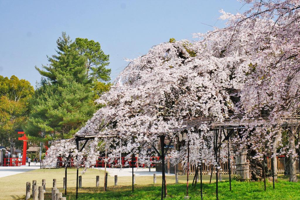 上賀茂神社の桜の写真素材