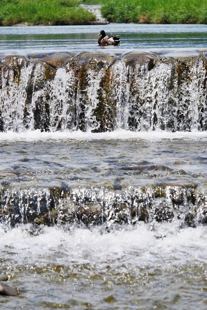 鴨川のカモの写真素材