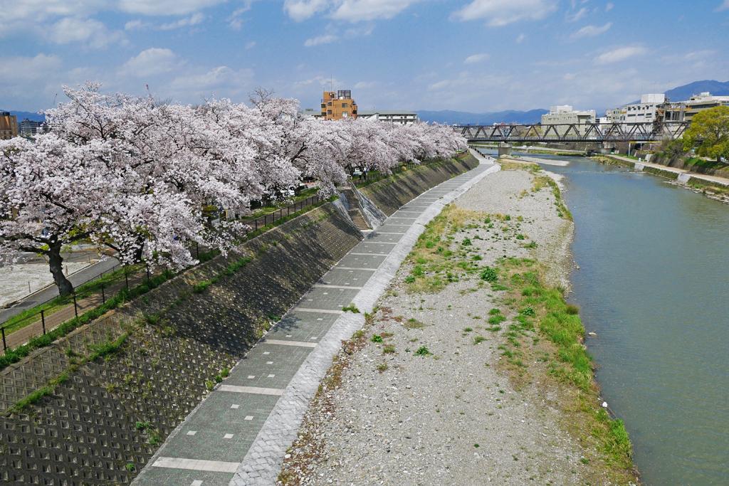 京都 鴨川の桜写真素材