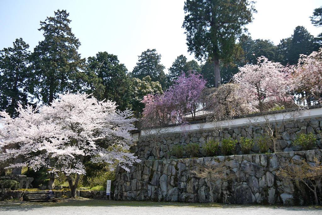福知山 観音寺の桜の写真素材