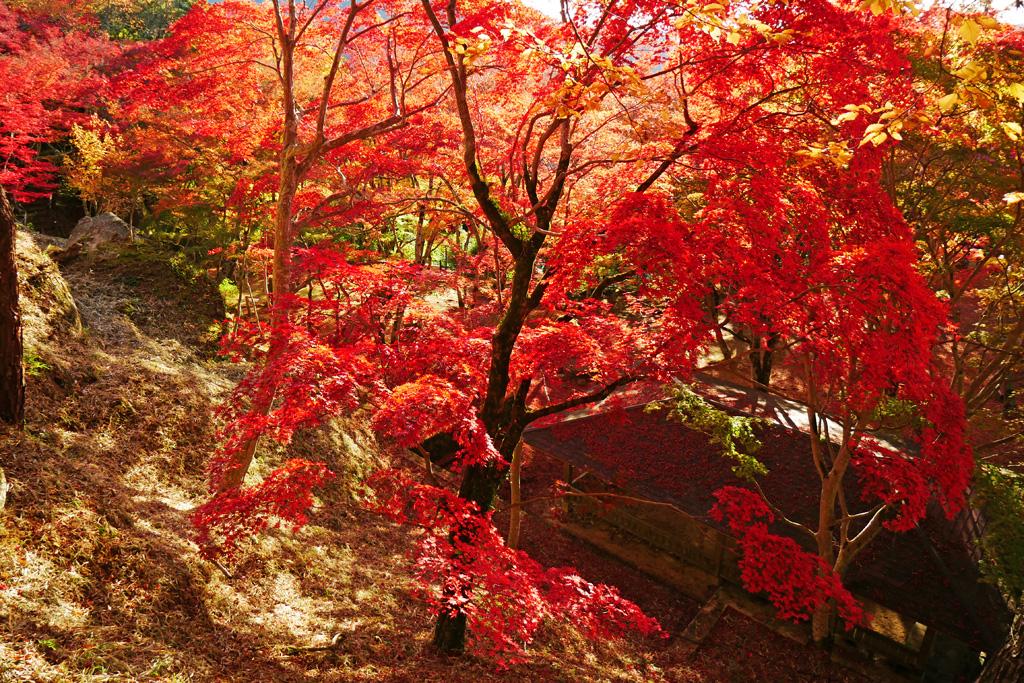 笠置山もみじ公園の紅葉の写真素材