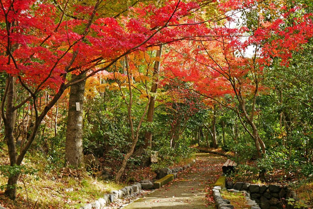 桂坂野鳥遊園の紅葉の写真素材