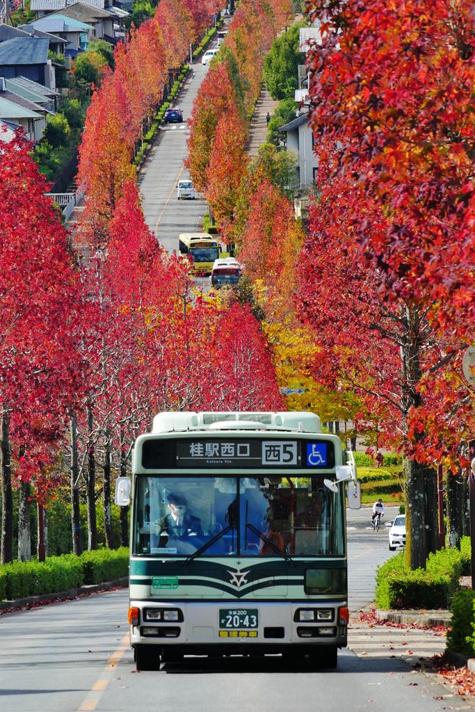 京都市バス モミジバフウ並木の桂坂南通の写真素材