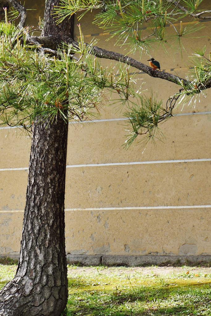 東寺のカワセミの写真素材