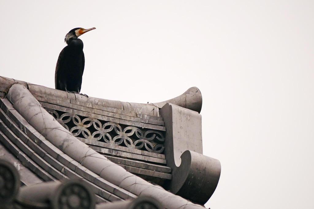 勝龍寺城のカワウの写真素材