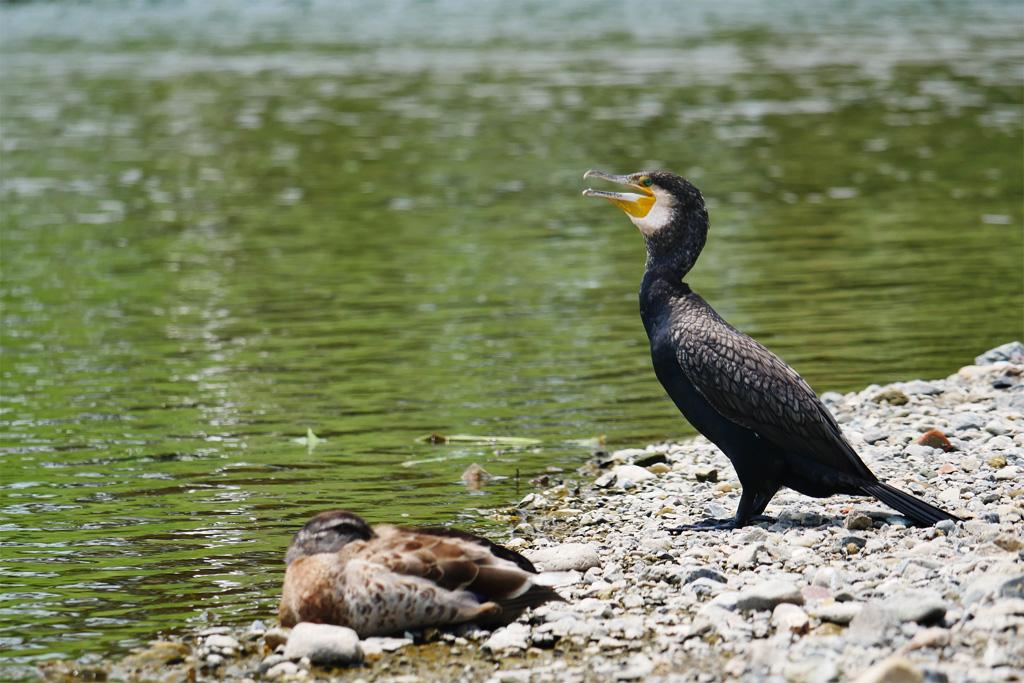 鴨川のカワウの写真素材