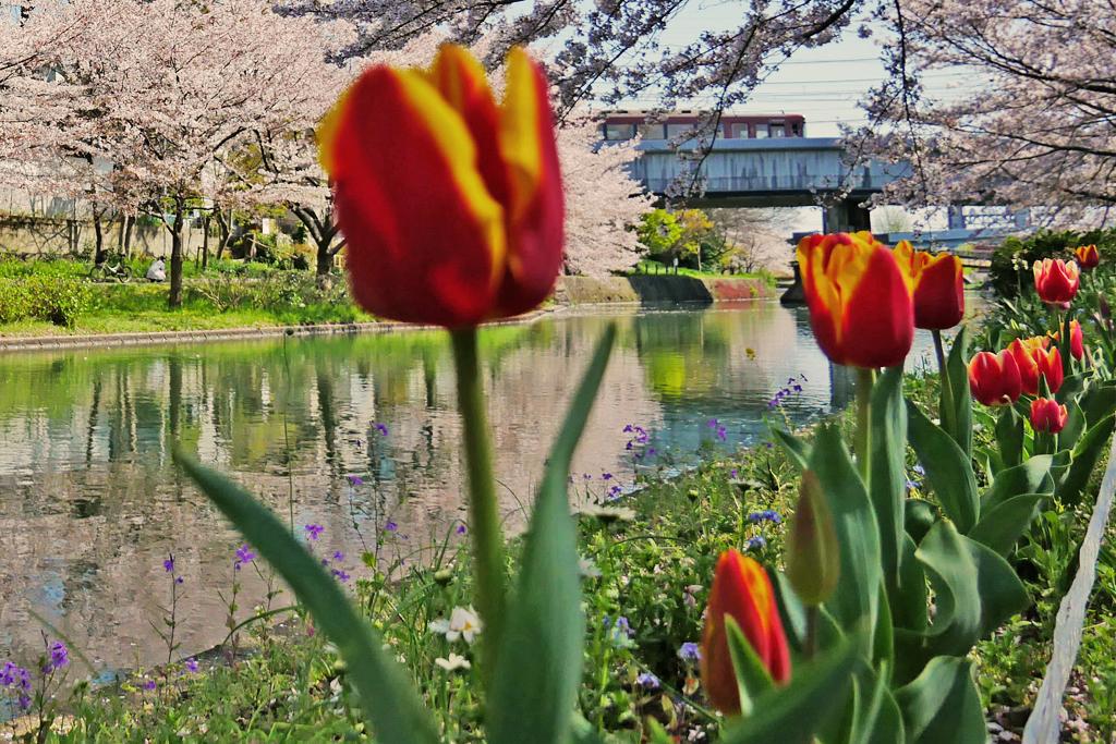 濠川と京阪電車と桜の写真素材