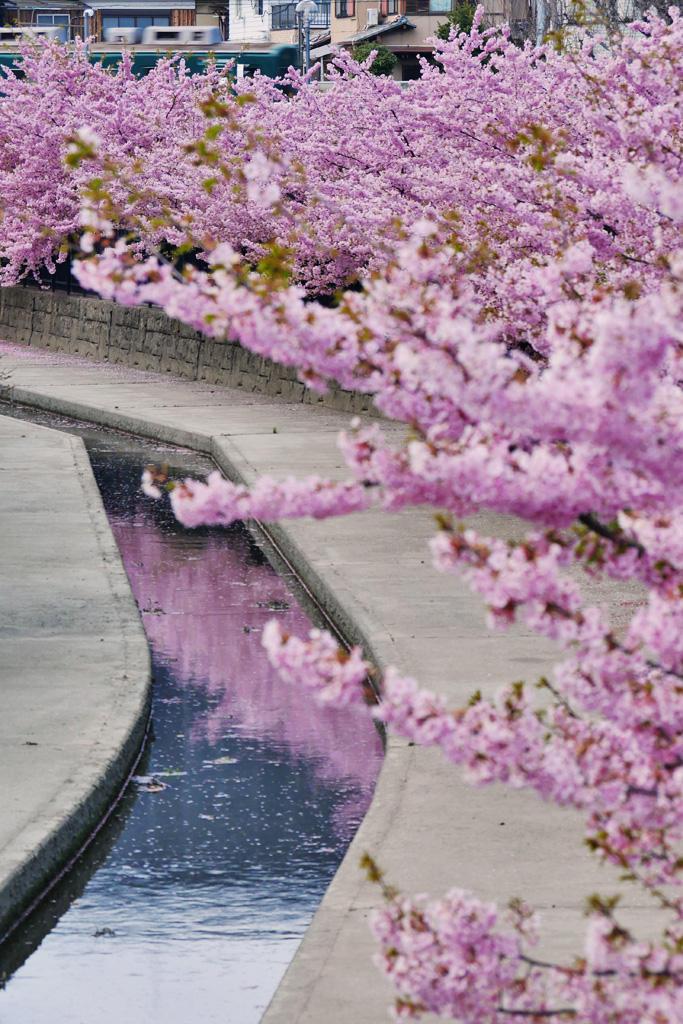 淀水路の河津桜と京阪電車の写真素材