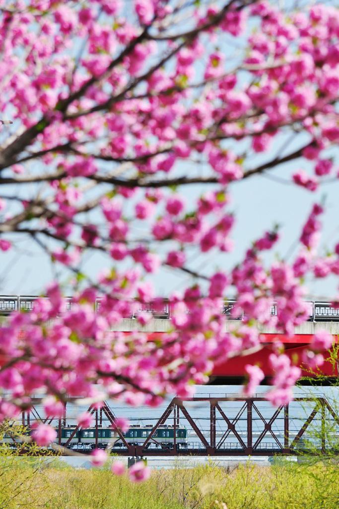 背割堤のハナモモと京阪電車の写真素材