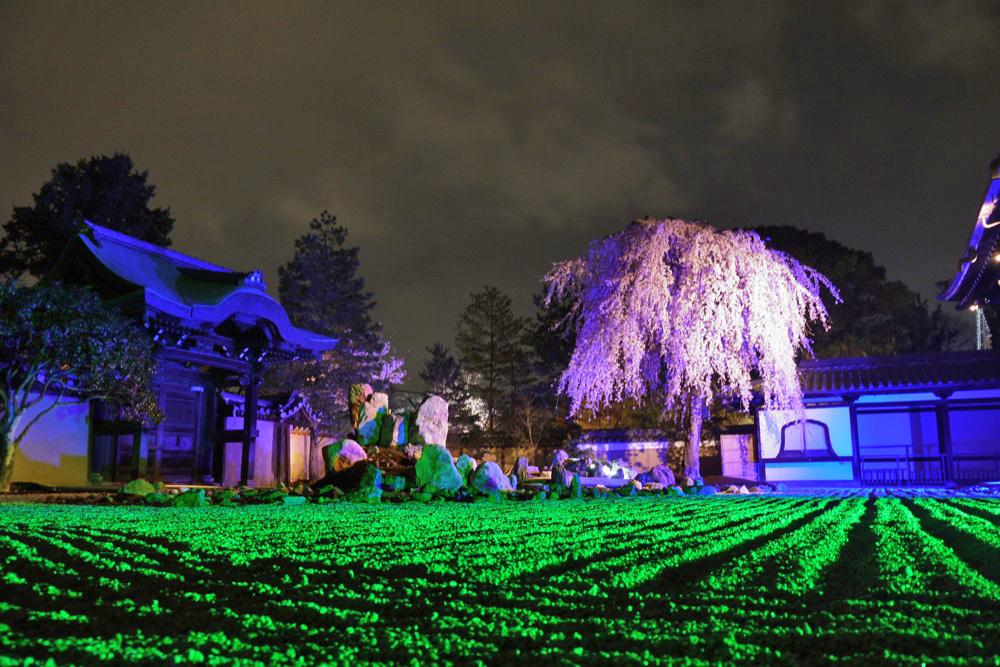 京都 高台寺の桜のライトアップ