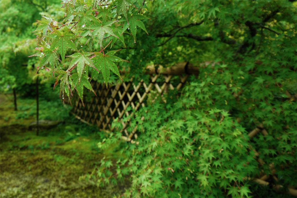 雨の光悦寺の写真素材