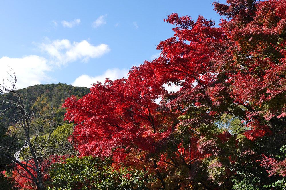 光悦寺の紅葉の写真素材