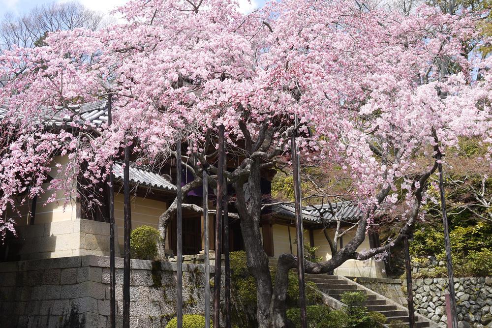 光明寺の桜の写真素材