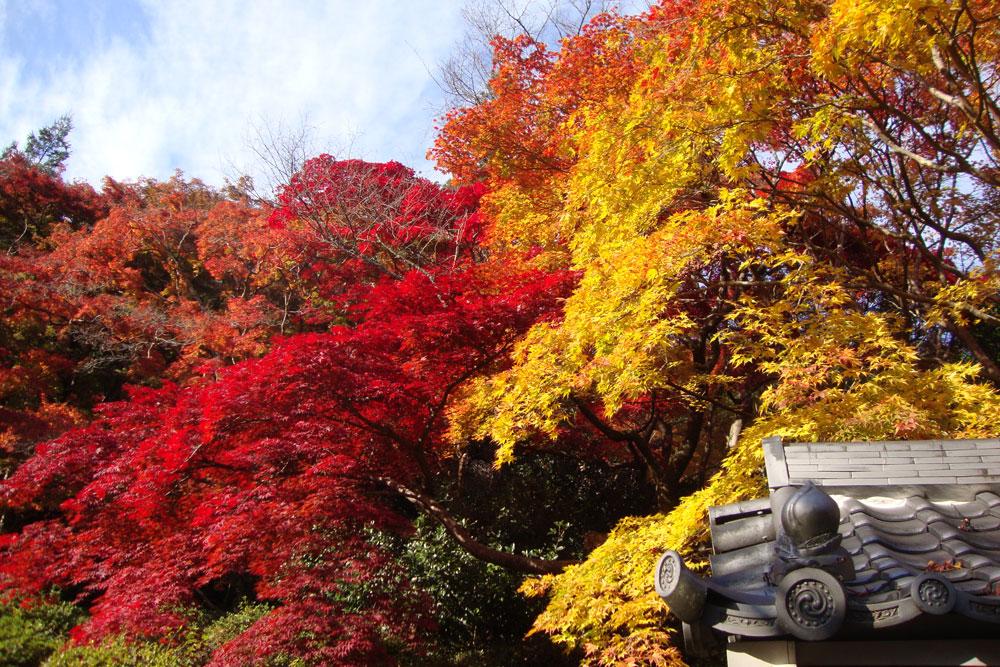 金蔵寺の紅葉の写真素材